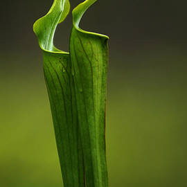 Bob Christopher - Pitcher Plants 2