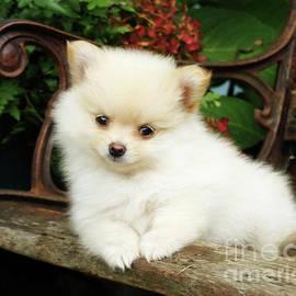 Erica Sauder - Pomeranian Puppy On A Garden Bench