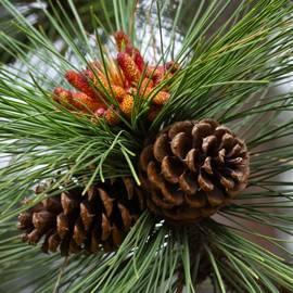 Karon Melillo DeVega - Ponderosa Pine Cones