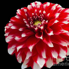 Cheryl Young - Portrait of a Dahlia