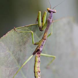 Craig Lapsley - praying Mantis
