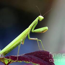 Deborah  Smith - Praying Mantis