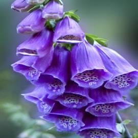 Carol F Austin - Purple Bell Flowers Foxglove Flowering Stalk