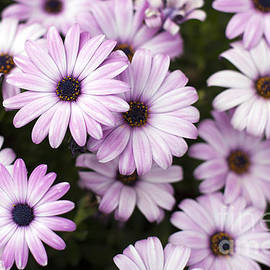 Charlotte Lake - Purple Daisies