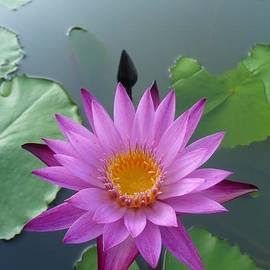 Gregory Smith - Purple Lotus in a Pond