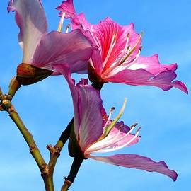 Yali Shi - Purple Orchid Tree