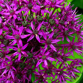 Tara Clews - Purple Stars