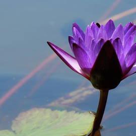 Kimberly Gonzales - Purple Waterlily