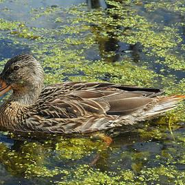Elaine Mikkelstrup - Quackers