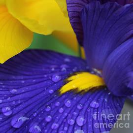 Jennie Marie Schell - Raindrops Purple Dutch Iris Flower