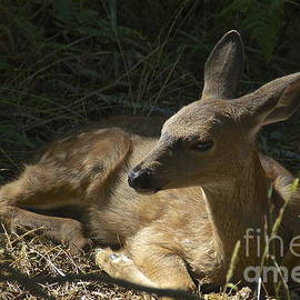 Sean Griffin - Reclining Fawn