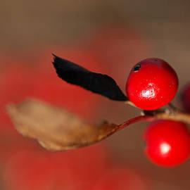 Susan Capuano - Red as a Winterberry