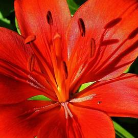 Bruce Bley - Red Asiatic Lily
