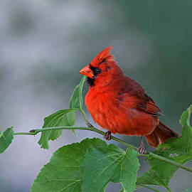 Juergen Roth - Red Cardinal