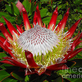 Rebecca Margraf - Red King Protea