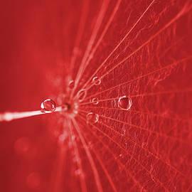 Tanja Riedel - Dandelion wet with dew drops