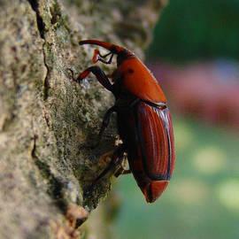 Alessandro Della Pietra - Red palm weevil