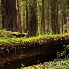 Bob Christopher - Redwoods 1