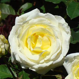 Baslee Troutman Fine Art Prints - Rose Floral art prints Yellow Roses Flowers