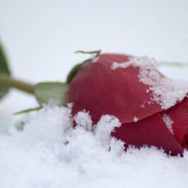 Cheryl Cencich - Rose in snow