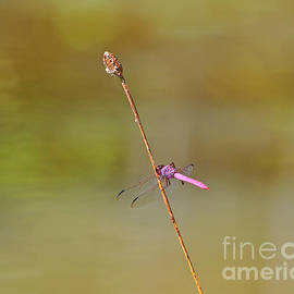Al Powell Photography USA - Roseate Skimmer