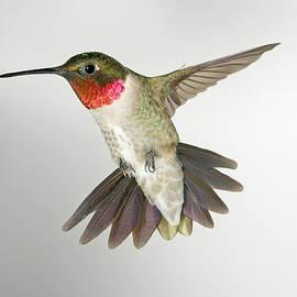 Gregory Scott - Ruby Throat Hummingbird