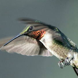 Travis Truelove - Ruby-throated Hummingbird - Hover