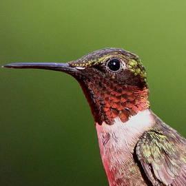 Travis Truelove - Ruby-throated Hummingbird - Macho Man
