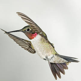 Gregory Scott - Ruby Throated Hummingbird