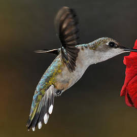 Mike Martin - Ruby Throated Hummingbird