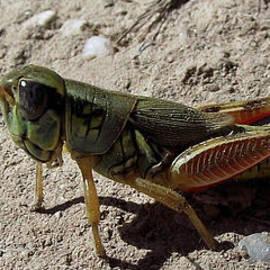 Stephen Ogle - San Pedro Grasshopper