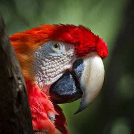 Roger Wedegis - Scarlet Macaw