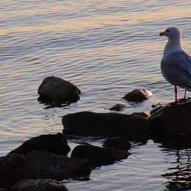 James Hammen - Seagull at Dusk