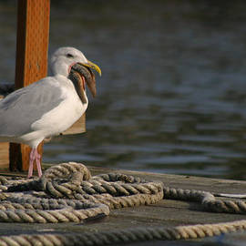 Kym Backland - Seagull Swallows Starfish