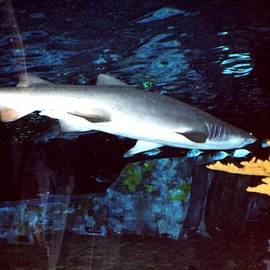 Val Oconnor - Shark