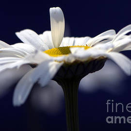 Sharon  Talson - Shasta Daisy Midnight Blue