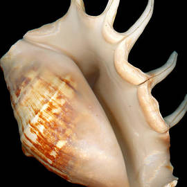 Mike Savad - Shell - Conchology - Conch