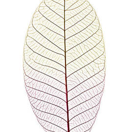 Elena Elisseeva - Skeleton leaf