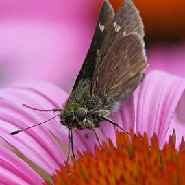 Juergen Roth - Skipper Moth Macro Photography