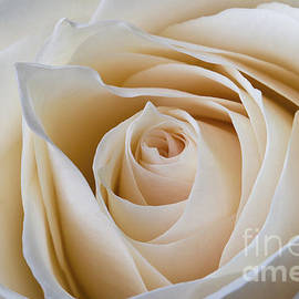 Clare Bambers - Soft Creamy Rose
