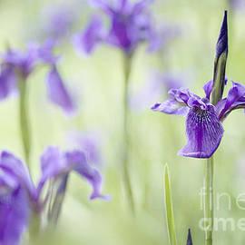 Jacky Parker - Softly Iris