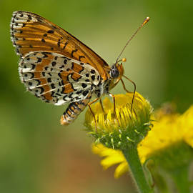 Anne Sorbes - Spotted Fritillary