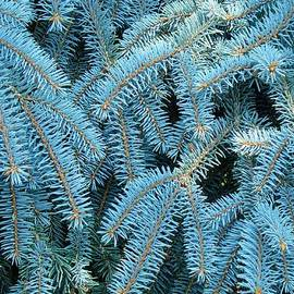 Baslee Troutman Photography Art Prints - Spruce Conifer Nature Art Prints Trees