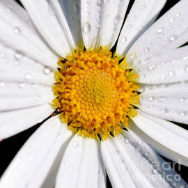 Kaye Menner - Square Daisy - Close up