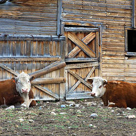 Karon Melillo DeVega - Squires Herefords by the Rustic Barn