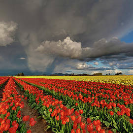 Mike Reid - Storm Tulips