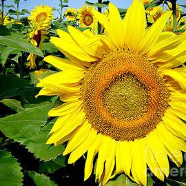 Julie Palencia - Sunflower Fields 1