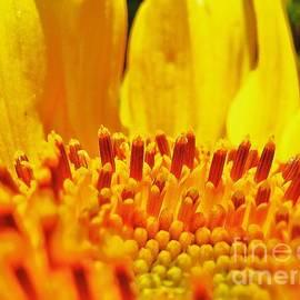 John King - Sunflower