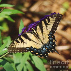 Sue Melvin - Swallowtail Butterfly 2