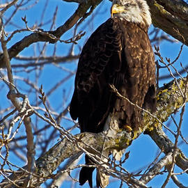 Dave Clark  Photography - Teenage Eagle